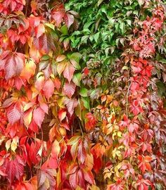 parthenocissus tricuspidata 39 veitchii robusta 39 vigne vierge rouge du japon lierre japonais. Black Bedroom Furniture Sets. Home Design Ideas