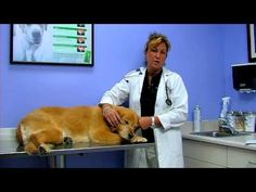 Pet Breeding & & Pregnancy: Dog Care: Signs of Pregnancy - http://petcarecheap.com/pet-breeding-pregnancy-dog-care-signs-of-pregnancy/