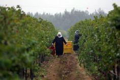 Golan heights vineyard wine israel