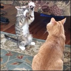 Animated Cat GIF • Overconfident Kitten getting knocked down by his father before the fight even started, haha.