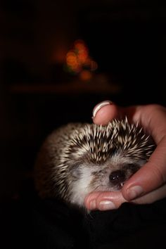 Not a creature was stirring not even a hedgehog. Holiday pet photography