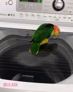 Bellied Caique going full birb chasing laundry (cute & funny parrot video by /lil.koa) eagle owls of paradise birdsWhite Bellied Caique going full birb chasing laundry (cute & funny parrot video by /lil.koa) eagle owls of paradise birds Funny Birds, Cute Birds, Cute Funny Animals, Cute Baby Animals, Funny Cute, Cute Animal Videos, Funny Animal Pictures, Caique Parrot, Parrot Pet