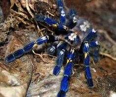 La mygale ornementale de Gooty. La mygale de Gooty ne peut être trouvée que dans un rayon d'environ 100 kilomètres, au sud de l'Inde. Les collectionneurs en offrent régulièrement plus de 500 dollars pour leurs magnifiques couleurs. Du coup, aujourd'hui, cette espèce est au bord de l'extinction.