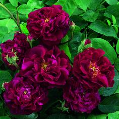 Tuscany Superb - David Austin Roses