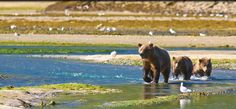 Brown bears at the Katmai National Park and Preserve