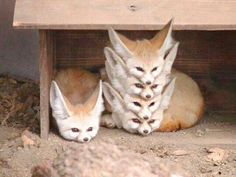 """animal-factbook: """"Fennec Foxes are highly social creatures with a rigid social hierarchy. When a pack of Fennec Foxes rest, they form what is often called a """"Fennec Stack"""" with the alpha fox on the. Cute Little Animals, Cute Funny Animals, Funny Animal Pictures, Funny Foxes, Funny Photos, Pics Of Cute Animals, Hilarious Animal Memes, Cute Baby Cats, Cutest Animals"""