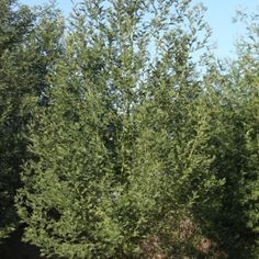 Black wattle | Acacia mearnsii