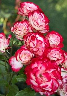 Double delight Knockout Roses all Colors | Double Delight roses are tipped with a hue as red as Snow White's lips ...