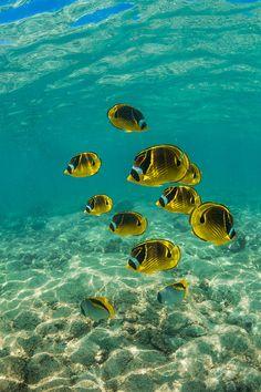 School of Raccoon Butterflyfish along Coral Reef off Big Island of Hawaii