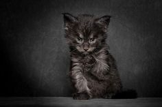 These Majestic Photos Of Maine Coons Will Take Your Breath Away Cute Kittens, Cats And Kittens, Tabby Cats, Beautiful Cats, Animals Beautiful, Animals And Pets, Cute Animals, Gatos Cool, Foto Fantasy