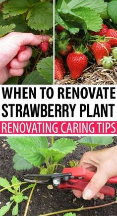 When To Renovate A Strawberry Plant - Tips For Renovating Strawberries This is where the strawberry renovation comes in to play. Often this process is neglected by many people, have you ever heard about strawberry renovation? Strawberry Plant Care, Strawberry Planters, Strawberry Garden, Fruit Garden, Garden Plants, Strawberry Varieties, Strawberry Patch, When To Plant Strawberries, Gardens