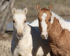 Bashkir-Curly Horse Breed A rare breed with a unique history and hypoallergenic coat, the Bashkir Curly is known for its intelligence and easy going temprement.