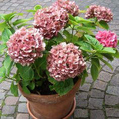 Growing Hydrangeas in Pots. Firstly the answer is yes, you can plant any Hydrangea in a pot but there a few that grow better in pots due to there dwarf nature.