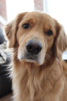 All About The Devoted Golden Retriever Dogs Exercise Needs … - Animals Cute Puppies, Cute Dogs, Dogs And Puppies, Doggies, Chien Golden Retriever, Golden Retrievers, Labrador Retrievers, Beautiful Dogs, Animals Beautiful
