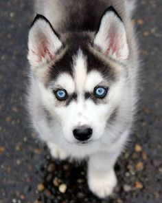 Wonderful All About The Siberian Husky Ideas. Prodigious All About The Siberian Husky Ideas. Cute Husky Puppies, Husky Puppy, Huskies Puppies, Mastiff Puppies, Boxer Puppies, Cute Funny Animals, Cute Baby Animals, Shiba Inu, Husky With Blue Eyes