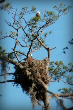 Eagles nest - Bald eagle nests are among the largest nests of all birds.  Typical size is 5-6 feet in diameter and 3 feet tall! An Ohio nest used for 34 years measured almost 9 feet in diameter, close to 12 feet tall, and weighed over 2 tons!