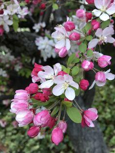 Flowering crabapple tree royal raindrop this ornamental tree flowering crabapple tree mightylinksfo