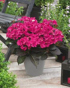 Photo of the Day: Tuxedo® Hydrangea Pink. Hydrangea Tuxedo has a lovely dark purple/black flushed foliage – in some lights it looks almost black. The flowers appear in early spring, covering most of the plant which is itself mounded and compact. Hydrangea Varieties, Growing Gardens, Garden Projects, Garden Ideas, Planting Flowers, Flowering Plants, Early Spring, Colorful Flowers, Purple And Black