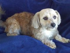 Billy is an adoptable Yorkshire Terrier Yorkie searching for a forever family near Temecula, CA. Use Petfinder to find adoptable pets in your area.