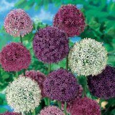 Allium 'Big Impact Mixed' - Allium Bulbs - Thompson & Morgan
