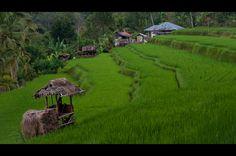 Ricefields #bali