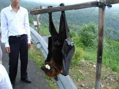 Found in New Guinea the Bismarck Flying Fox averages around 3.2LBS and has roughly a 5-6 foot wingspan.