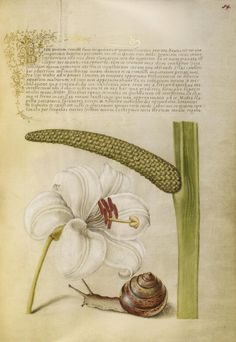 Joris Hoefnagel, illuminator [Flemish / Hungarian, 1542 - 1600] and Georg Bocskay, scribe [Hungarian, died 1575] , Madonna Lily, Terrestrial...
