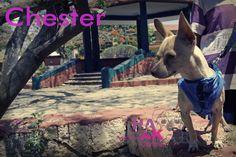 Chester el Chihuahua, portando una pechera Hanak