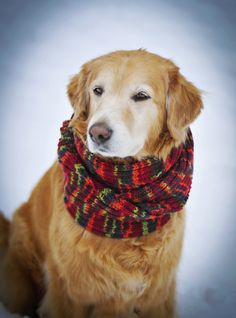 Willie, my rescue golden retriever wearing my new hand knitted scarf. Dogs like to be warm and stylish too!  Everybody Loves Willie Rescue Golden Retriever, Willie wearing momma's new knitted scarf in the snow. Dogs like to be warm and toasty while remaining stylish, too!