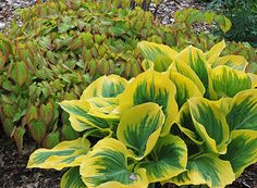 Hosta 'Liberty' & Epimedium x rubrum