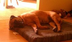 MD-Fawna is an adoptable Bullmastiff Dog in Far Hills, NJ. FAWNA -- Brandywine, MD -- just south of Washington, DC This sweet and beautiful face belongs to Fawna. Fawna is a laid-back, quiet girl whos...