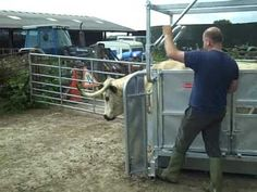Showing the established Ritchie highland cattle crate working with white park cattle in Bolton by Bowland. Suitable for all handling work, the crate use.