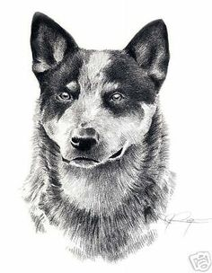 Australian #cattle dog ii #pencil art print signed by artist dj rogers #w/coa, View more on the LINK: http://www.zeppy.io/product/gb/2/270887892182/
