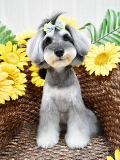 Ranked as one of the most popular dog breeds in the world, the Miniature Schnauzer is a cute little square faced furry coat.