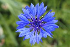 A cornflower in the opening phase. This plant Centaurea cyanus belongs to the family of the Asteraceae.  Kornblume  by Bienenwabe
