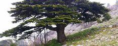 Libanoni cédrus