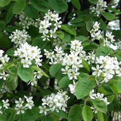 amelanchier spicata Isotuomipihlaja - Google-haku Small Trees, Open Flower, Evergreen Shrubs, Screen Plants, White Flowers, Ornamental Grasses, Perennials, Plants, Viburnum