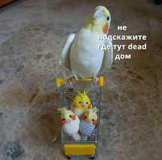 A place for really cute pictures and videos! Funny Animal Memes, Cute Funny Animals, Cute Baby Animals, Baby Budgies, Cockatiel, Funny Birds, Cute Birds, Funny Parrots, All Birds