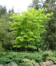 Plant Bamboo 200mm Himalayan Weeping I N 3804529