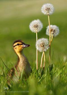 Wild duckling with dandelions by Miroslav Hlavko
