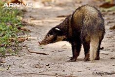 Hog badger photo - Arctonyx collaris - image-G55443