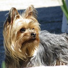 Find Out More On The Sprightly Yorkshire Terrier Pups Exercise Needs Yorkie Puppies For Adoption, Yorkie Puppy, Pet Dogs, Dogs And Puppies, Dog Cat, Pets, Yorkshire Terriers, Yorky Terrier, Teacup Yorkie