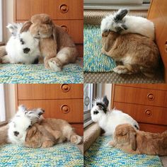 This is true bunny love <3  ~ that's an angora rabbit too! I love them!