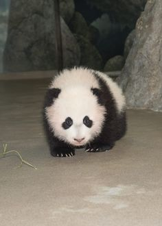 Baby Bao Bao                                                                                                                                                                                 More