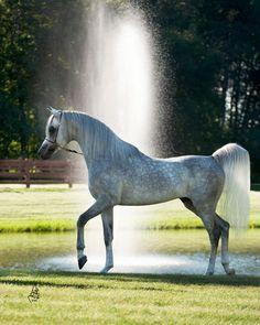Stonewall Farm Arabian Horses Scottsdale, Arizona Breeders Foals for Sale--Al Nakeel owned by Al Jood Stud Doha Qatar.