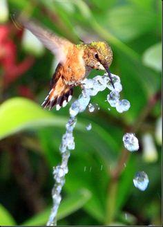 Male Rufous Hummingbird Taking An Aerial Bath