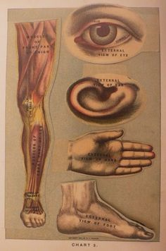 anatomical illustration, 1903