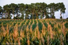 Pole kukurydzy » MRACH Fotografie