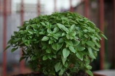 Basil is a aromatic plant and a common household plant which can also be used in cooking, for example, to make pesto sauce. Flora Garden, Herb Garden, Vegetable Garden, Garden Plants, Garden Veranda Ideas, Household Plants, Comment Planter, Plants Are Friends, Market Garden