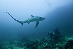 A beautiful Pelagic Thresher shark gets surprisingly close to two divers at Monad Shoal, Malapascua Island, <span>Philippines</span>. Monad Shoal is the only spot in the world where thresher shark sightings are guaranteed. Naturally shy and skittish, this encounter is special as the shark was just a few meters away. Taken at 6am in the morning on May 16, 2015 at a depth of 35m/115 feet using natural light only as strobes are not allowed.